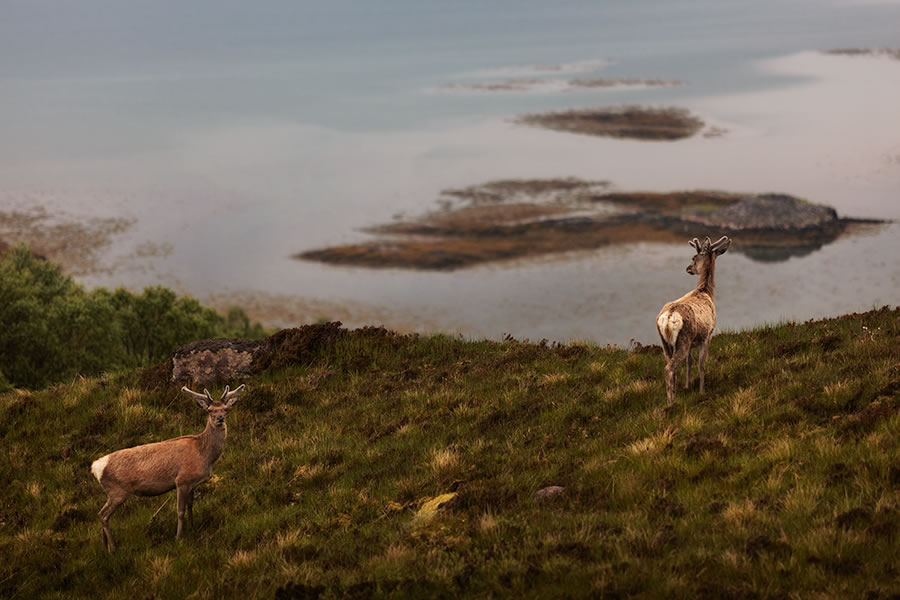Scottish Deer Photography